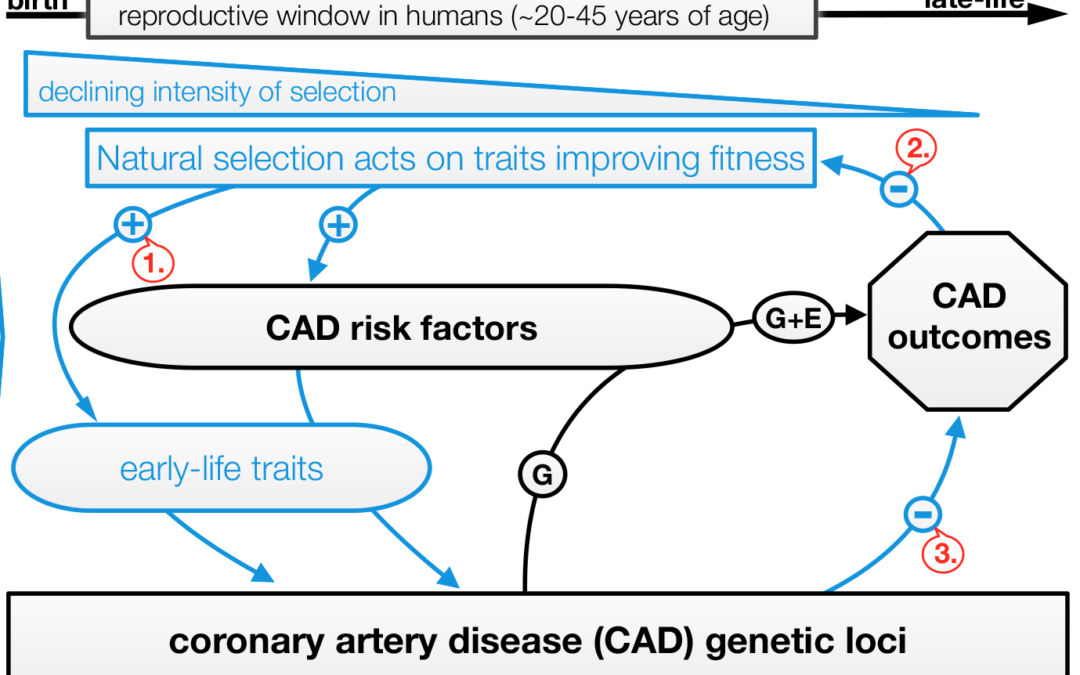 Genes that cause heart disease have benefits! (or at least are selected for)