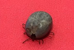 Ticks, meat allergies, and modern dysbiosis